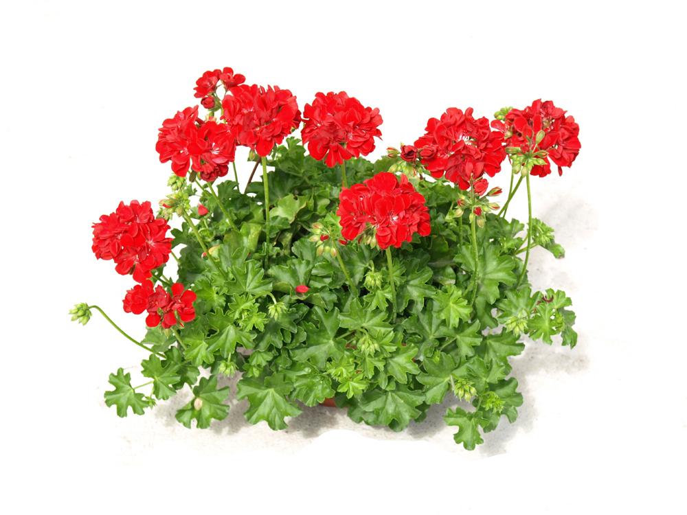 Цветы для счастья в доме - какие комнатные цветы приносят 49