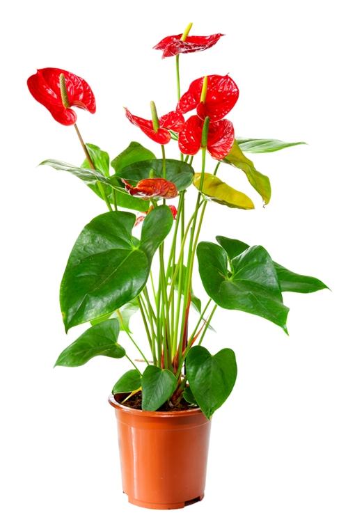 Цветы для счастья в доме - какие комнатные цветы приносят 80