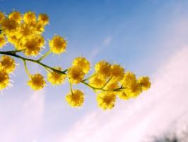 Почему 8 марта дарят мимозы
