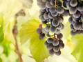 Компот из винограда: рецепты